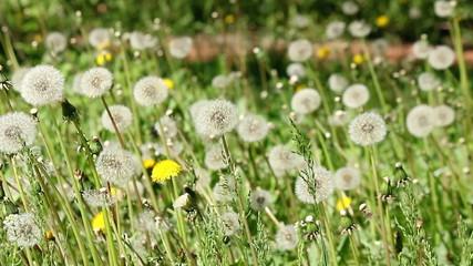 dandelion meadow spring season