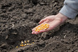 Agriculture, farmer hold corn seed, sowing time in field