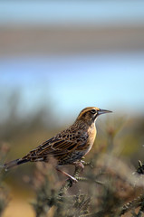 Female long-tailed meadowlark