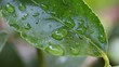 macro shot of a citrus leaf with water drops