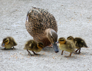 Duck with baby ducklings