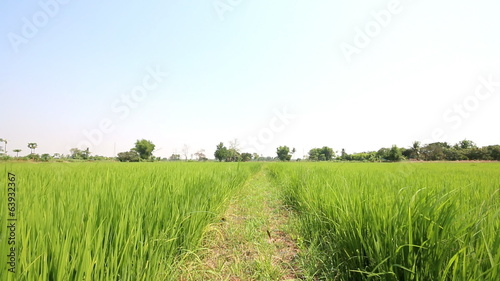 Landscape of a beautiful green rice stalks field , Dolly shot.