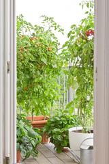 Tomaten- und Erbeerpflanzen auf Balkon
