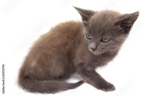 Grey kitten sitting
