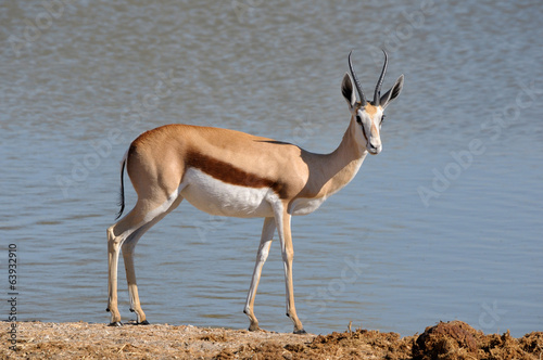 Springbok in the Etosha National Park 3