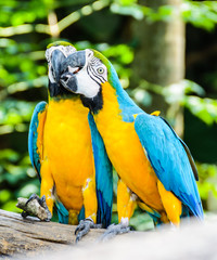 Best of kissing sweet macaw, blue-winged macaw