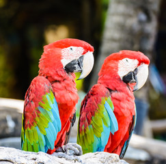 Couple of Red and green macaw
