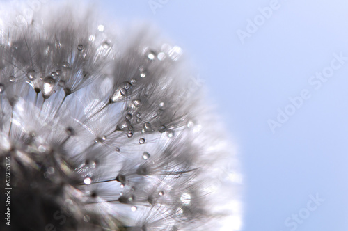 canvas print picture Dandelion with water drops