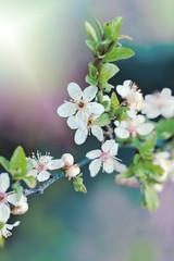 Beautiful flowering - Blooming fruit tree