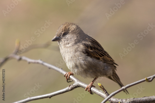 portrait of a sparrow