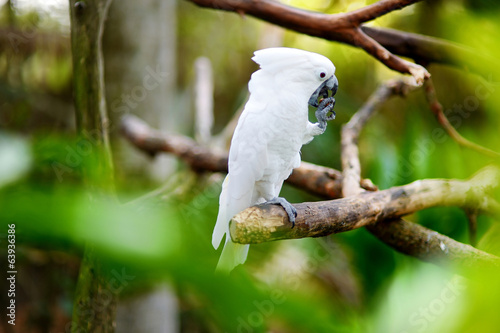 White cockatoo parrot on a branch