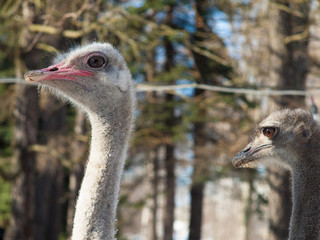 Two ostrich head close-up on blurred background