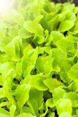 Freshness green lettuce salad texture