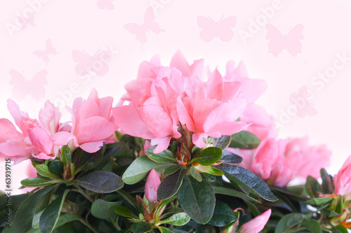 Pink azalea against with butterflies