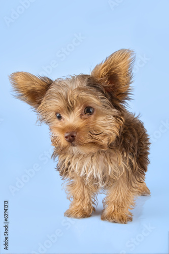 Yorkshire Terrier puppy standing in studio looking inquisitive b