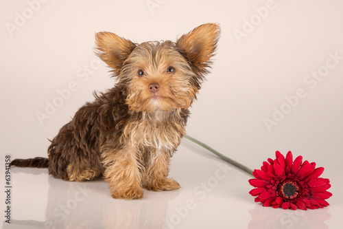 Yorkshire Terrier puppy standing in studio looking inquisitive p