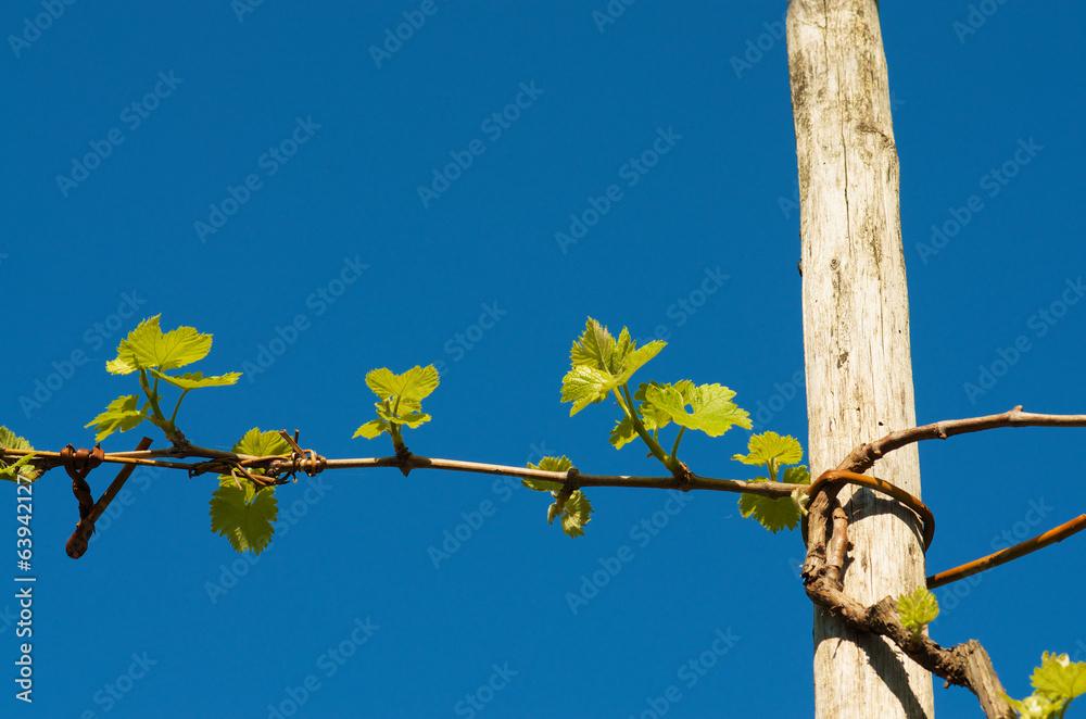 La pose en embrasure grape plant in spring - Planting grapevine in springtime steps ...