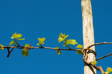 Grape plant in spring