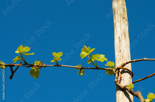 In de dag Wijngaard Grape plant in spring