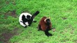Red ruffed lemur &  Black-and-white ruffed lemur.