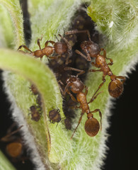 Red ants harvesting on aphids