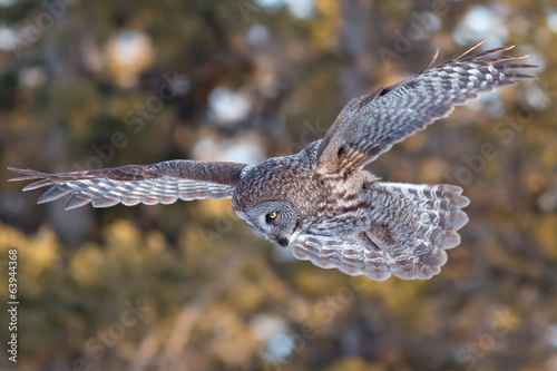 Foto op Canvas Uil Great Grey Owl