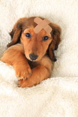 Injured Dachshund puppy