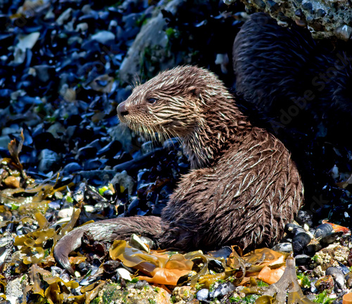 North American River Otter - juvenile
