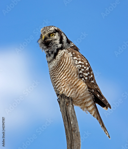 Northern Hawk Owl calling