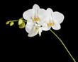 Three day old white orchid on black background.