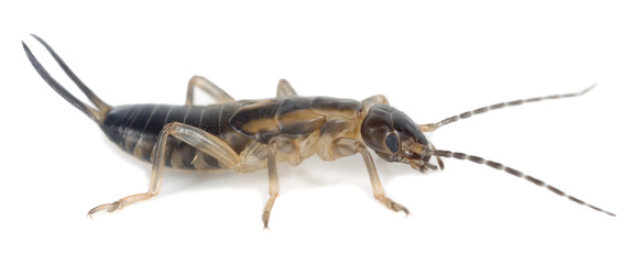 Earwig isolated on white background