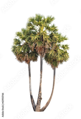 Three borassus flabellifer trees isolated on white background