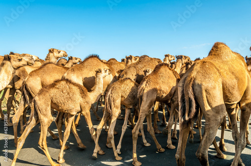Camel herd on the road