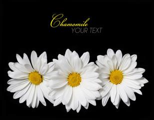 Chamomile flowers over black background. Daisy
