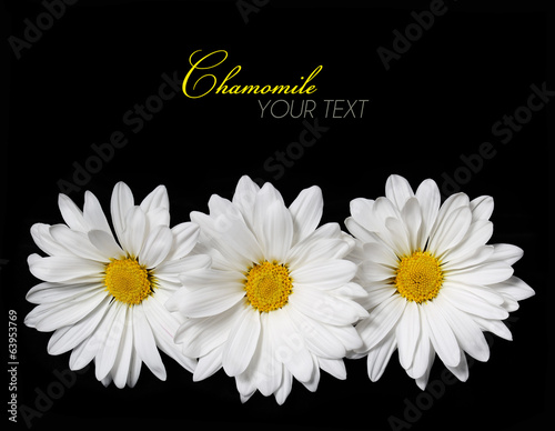 Chamomile flowers over black background. Daisy