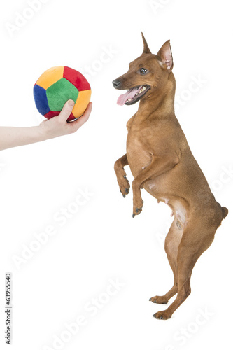 miniature pinscher with a bal