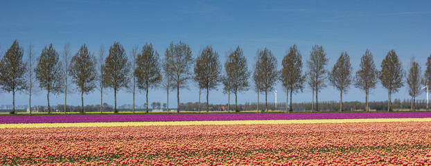 Panorama of tulips field along a treeline