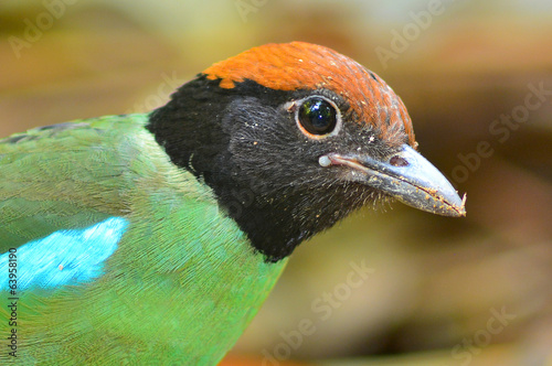 Hooded pitta bird
