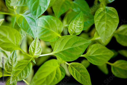 young seedlings of peppers closeup