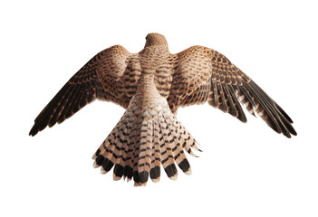 flying brown falcon isolated on white