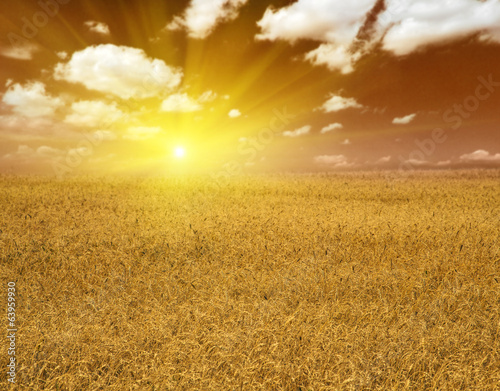 yellow wheat field at sunset