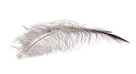 feather with gray down on white