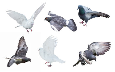 six isolated on white pigeons