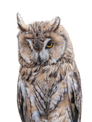 light brown owl on white background