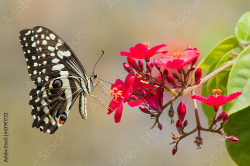 Citrus Swallow-Tail Butterfly drinking nectar from red flowers