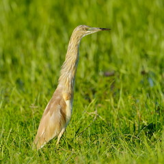 golden heron (ardeola ralloides)