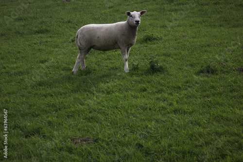 canvas print picture sheep