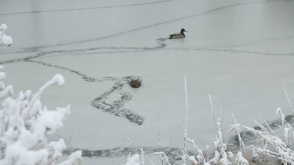 Ducks and Falling Snow