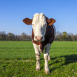 White and brown cow on green grass