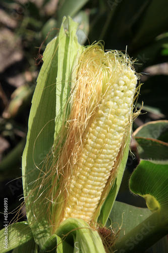 Cob on stalk.